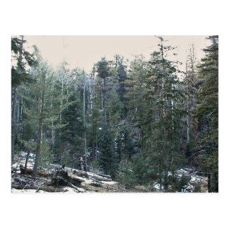 Lush mixed spruce forest postcard