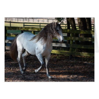 Lusitano Stallion Card