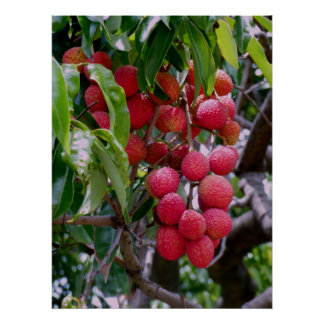 Lychee Fruit Poster