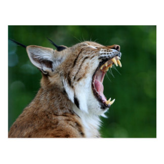 Lynx, bobcat beautiful photo postcard