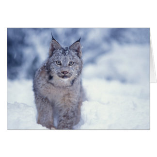 lynx, Lynx lynx, in the snow in the foothills of Card