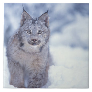 lynx, Lynx lynx, in the snow in the foothills of Tile