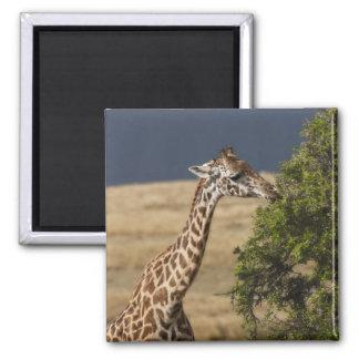 Maasai Giraffe (Giraffe Tippelskirchi) as seen 2 Square Magnet