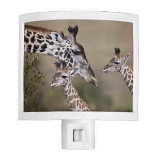 Maasai Giraffe (Giraffe Tippelskirchi) as seen Nite Lites