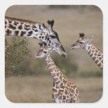 Maasai Giraffe (Giraffe Tippelskirchi) as seen Square Sticker