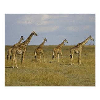 Maasai Giraffes roaming across the Maasai Mara Poster