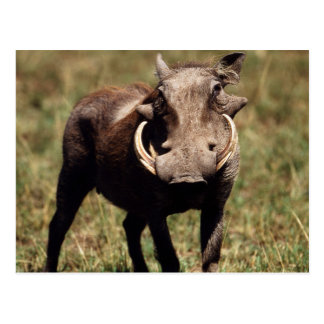 Maasai Mara National Reserve, Desert Warthog Postcard