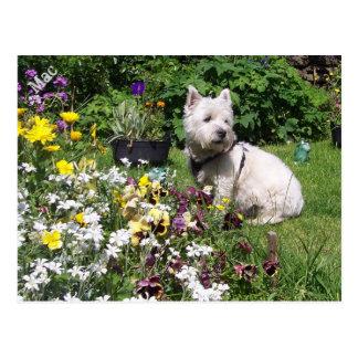 Mac, West Highland White Terrier Westie Postcard