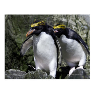 Macaroni Penguins, South Georgia Postcard