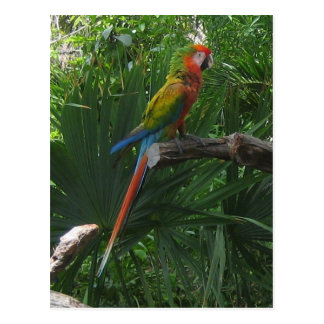 Macaw in Mexico Postcard