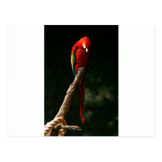 Macaw in The Shadows Postcard