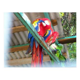 Macaw Postcard