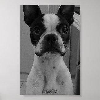 Macho the Boston Terrier Poster