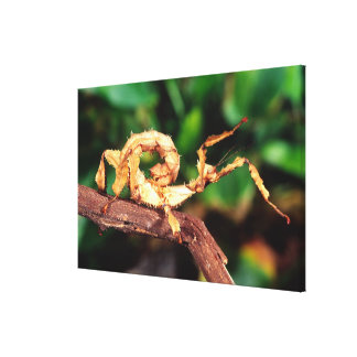 Macleay's Spectre (Spiney Stick Insect), Canvas Print