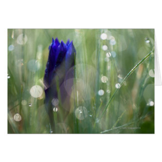 macro of gentian (Gentianella) with soft focus Card