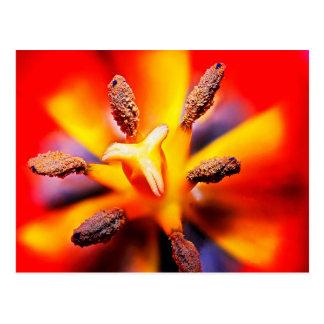 Macro photo rouge et jaune de tulipe carte postale