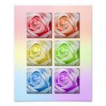 Macro Rainbow Roses Portrait Photo