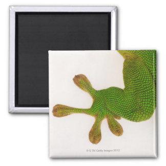 Madagascar day gecko (Phelsuma madagascariensis 2 Square Magnet