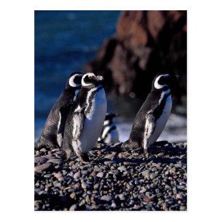 Magellanic Penguin Postcard
