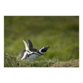 Magellanic Penguin, Spheniscus magellanicus, Photo Art