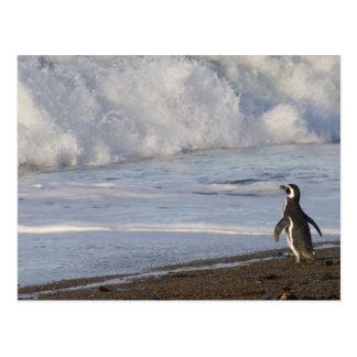Magellanic Penguin, spheniscus magellanicus, Postcard