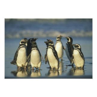 Magellanic Penguins, Spheniscus Art Photo