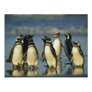 Magellanic Penguins, Spheniscus Postcard