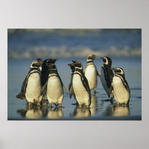 Magellanic Penguins, Spheniscus Poster