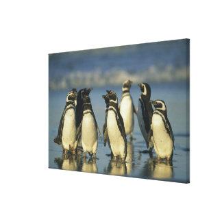 Magellanic Penguins, Spheniscus Stretched Canvas Prints