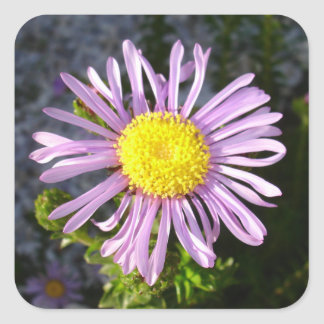 Magenta Aster - A Star of Love and Fidelity Square Sticker