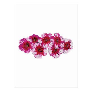 Magenta Dianthus Postcard