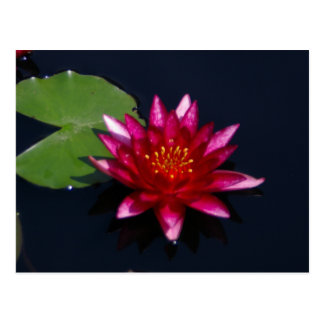 Magenta Lotus Waterlily Postcard