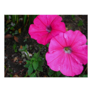 Magenta Morning Glory Poster
