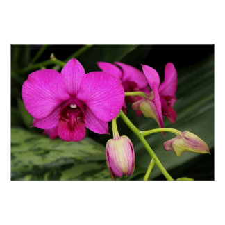 Magenta Orchid Poster