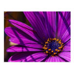 Magenta: The African Daisy Post Cards