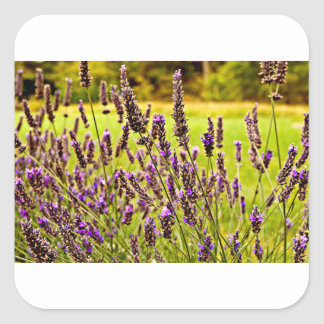 Magic Lavender Square Sticker