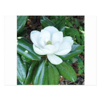 Magnificant Magnolia Postcard