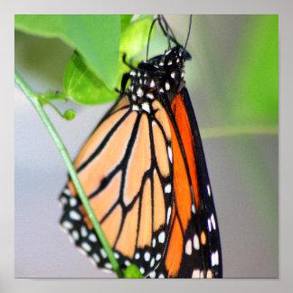 Magnifico Monarch print