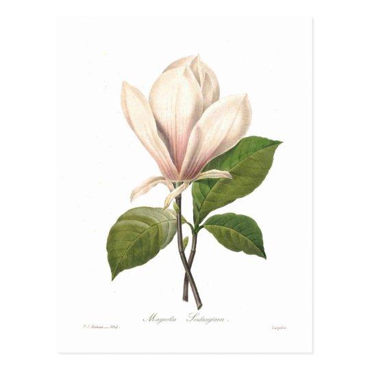 Magnolia soulangiana postcard