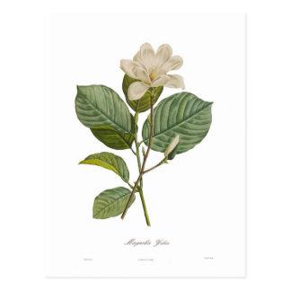 Magnolia yulan postcard