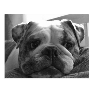 Maiden Boutique English Bulldog Postcard