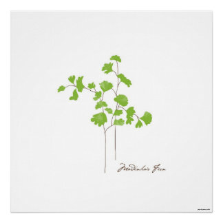 Maidenhair Fern Illustration | Botanic Poster