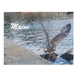 Maine Bird Postcard