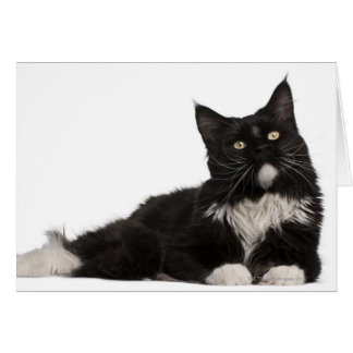 Maine Coon (15 months old) Card