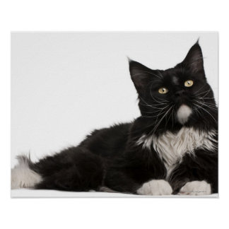 Maine Coon (15 months old) Poster