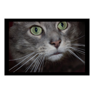 Maine Coon Cat Close-up Poster