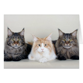 Maine Coon cats cute blank greetings card