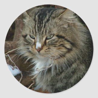 Maine Coon Feral Cat in Winter Portrait Round Sticker