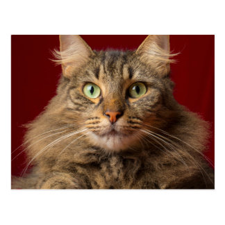 Maine Coon for Christmas with collector Postcard