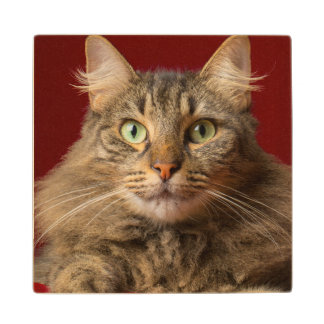 Maine Coon for Christmas with collector Wood Coaster